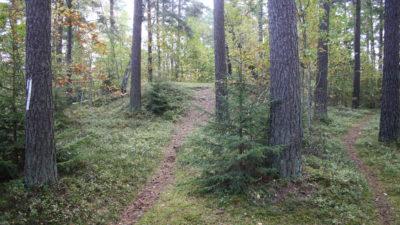 Tallskog med två stigar.