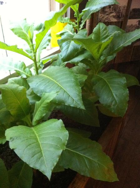 En tobaksplanta med gröna blad.