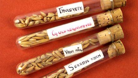 Bild på olika korn i provrör