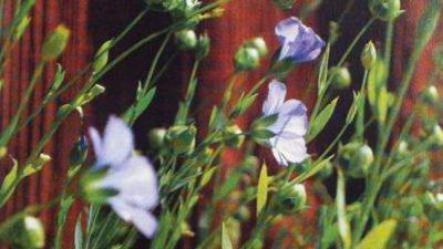 Lin blommor och knoppar.