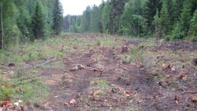 En avverkad vägliknande öppen yta med skog på båda sidor.