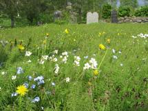 Grönt gräs med gula, vita och blå blommor på. En bit längre bort står det två gravstenar.