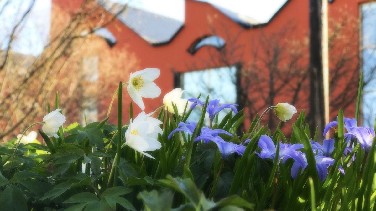 Vitsippor blommar framför museet.
