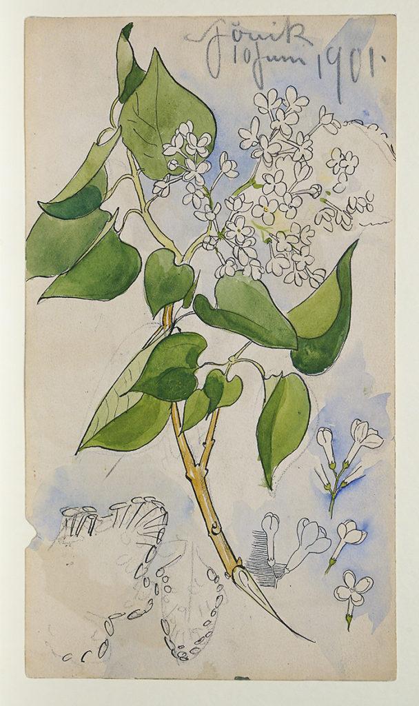 Syrenkvist med vita blommor och gröna blad.