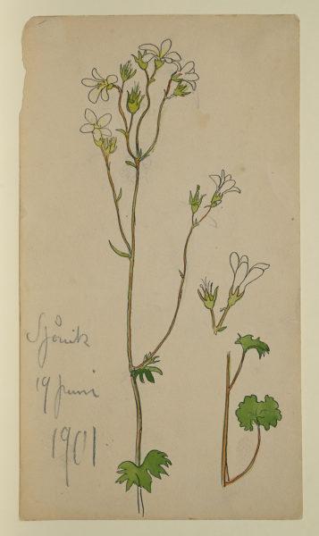 Akvarellskiss, en växtstudie. Blomstjälk med vit mandelblom.