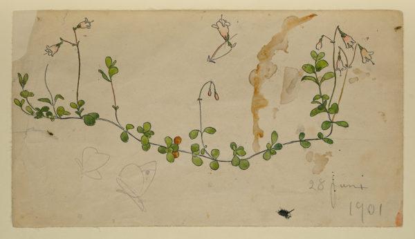 Akvarellskiss, en växtstudie. Liggande växtstängel med rosa linneor
