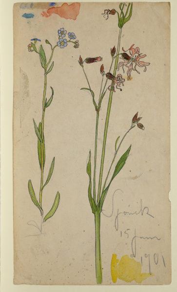 Akvarellskiss, en växtstudie. Två blomstjälkar med blå förgätmigej och rödblära.