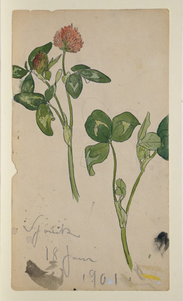 Akvarellskiss, en växtstudie. Två blomstjälkar med rödklöver.