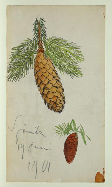 Akvarellskiss, en växtstudie. Två bruna, långa kottar hänger på varsin en gren med barr.