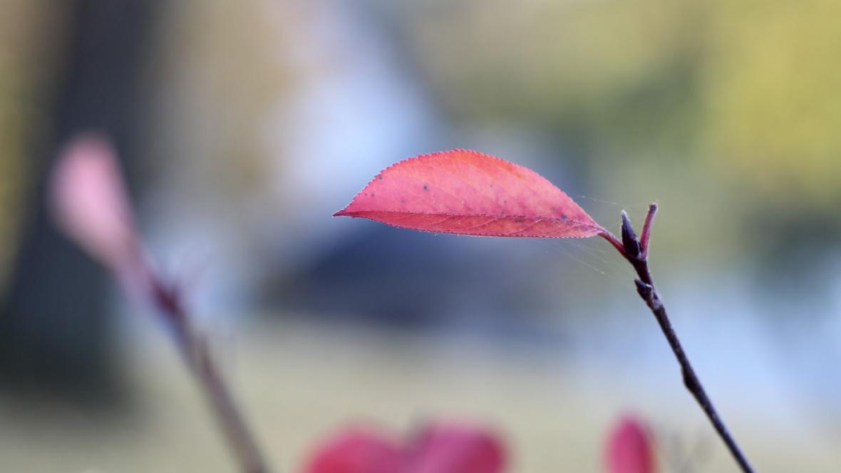 Ett rött löv på en kvist