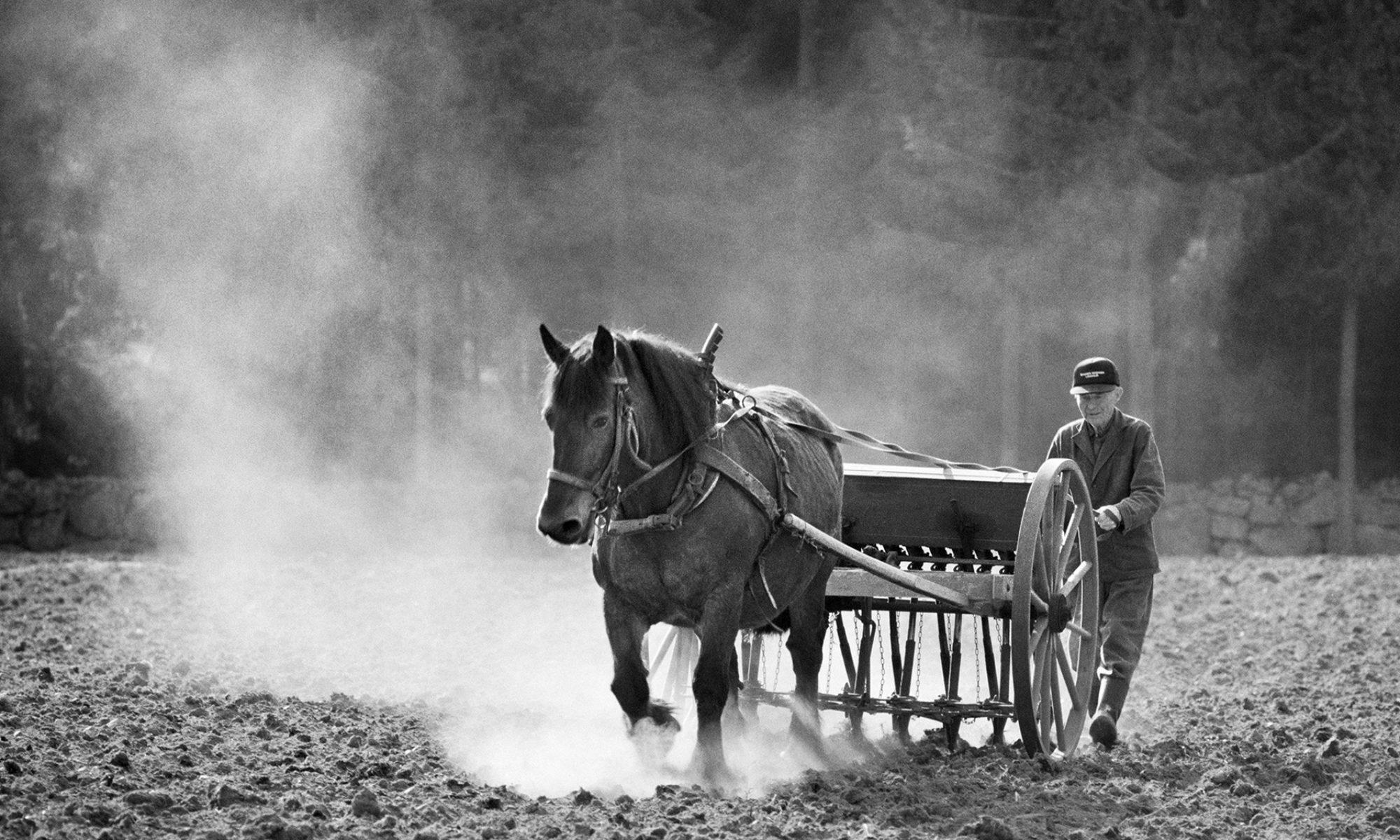 En äldre man kör en harv bakom en häst på en åker, bilden är svartvit